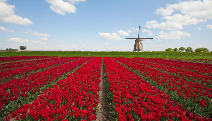 Hollands landschap met tulpen en een molen